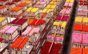 mercato tulipani
